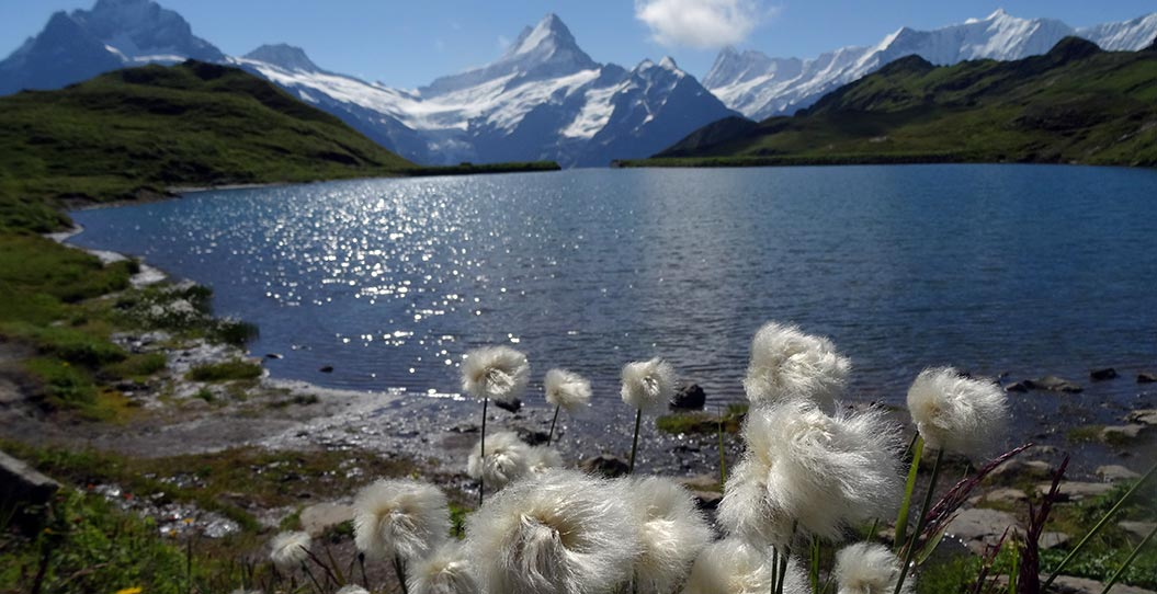 alpine-flowers_cotton-grass-on-the-Haute-Route_Sherpa-Expeditions