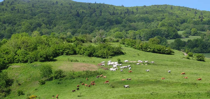 French cattle near Corbieres - sherpa expeditions