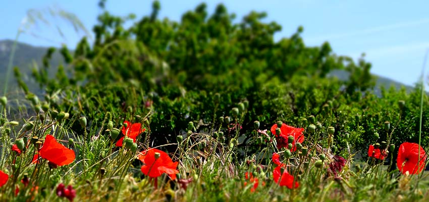 poppy fields in French Pyrenees - sherpa walking holidays