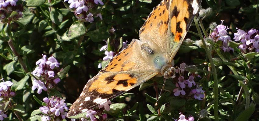 butterflies in French Pyrenees - Sherpa Expeditions