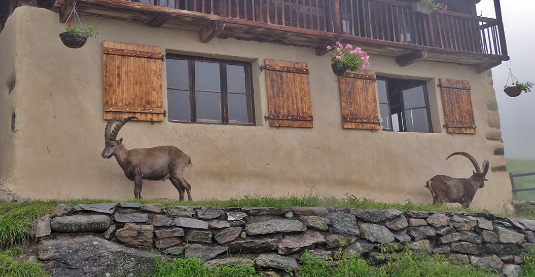 animals around Mont Blanc - Sherpa Expeditions