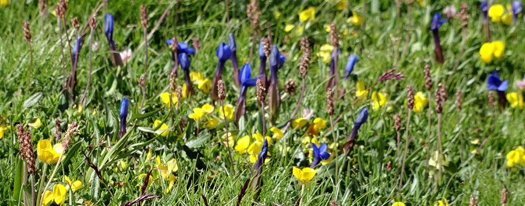 mountain flowers of Mont Blanc - Sherpa Expeditions