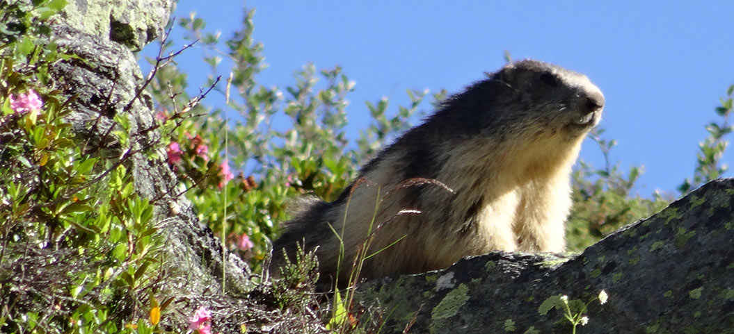 marmot, mont blanc, sherpa expeditions