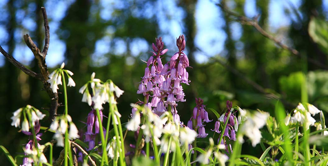 Things to do in Guernsey: Bluebell woods in spring - Sherpa Expeditions