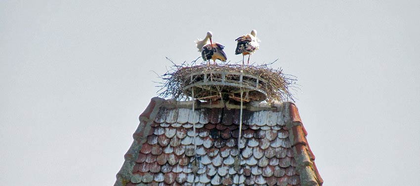 Storks in Alsace, Sherpa Expeditions walking holidays