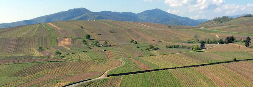 Vineyards in France, Alsace - Sherpa Expeditions walking holidays