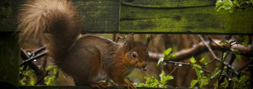 Red Squirrel on Coast to Coast