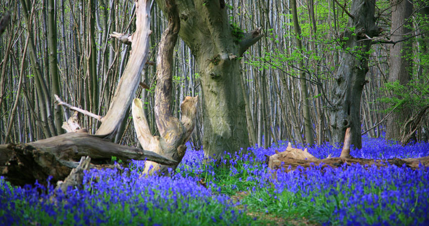 A carpet of bluebell flowers in England, United Kingdom-Sherpa Expeditions